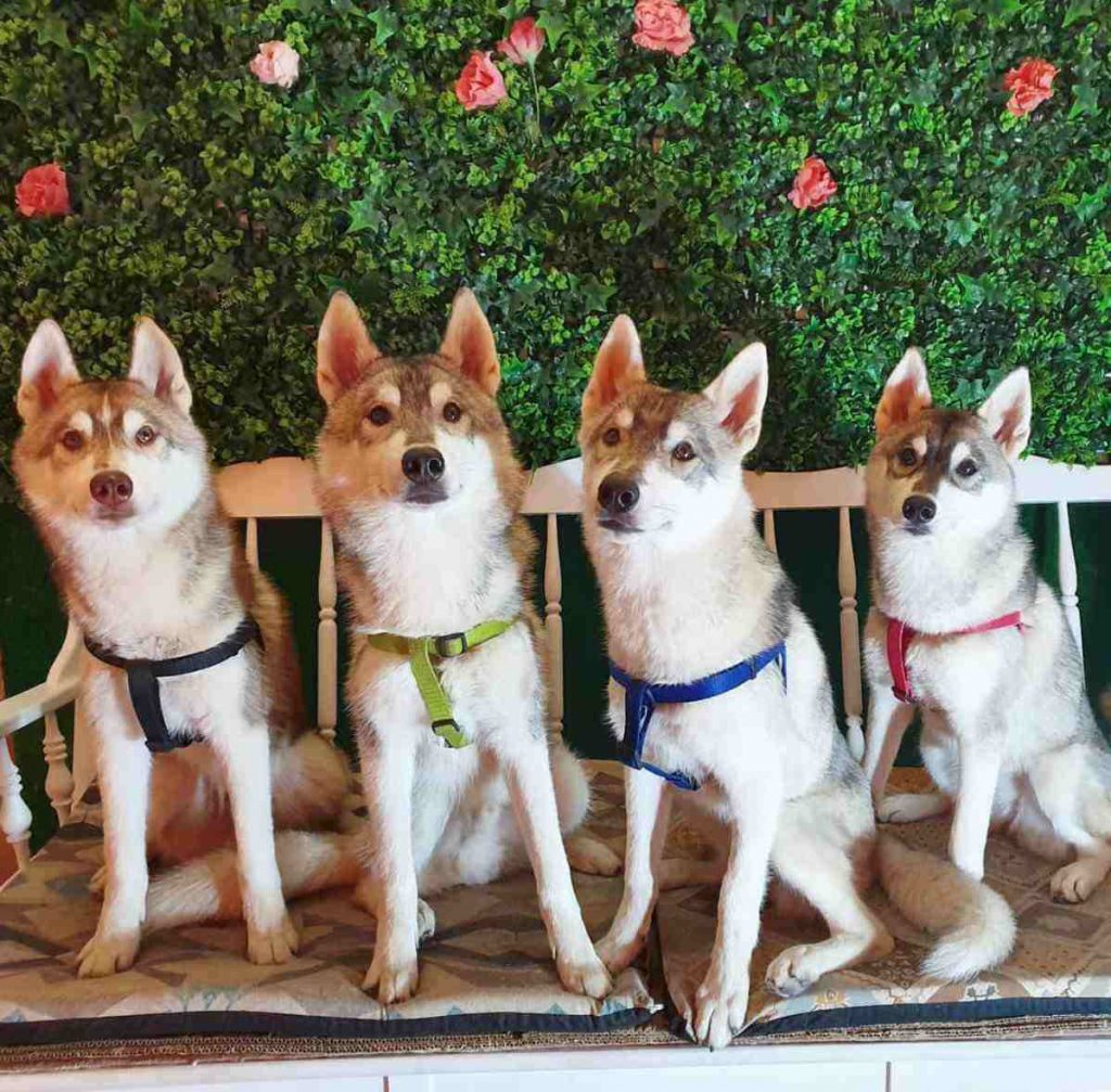 Husky House en Dog Cafe Bcn